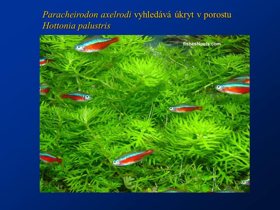 Paracheirodon axelrodi vyhledává úkryt v porostu Hottonia palustris