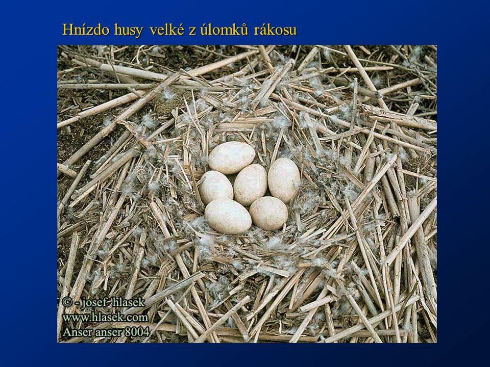 Hnízdo husy velké z úlomků rákosu
