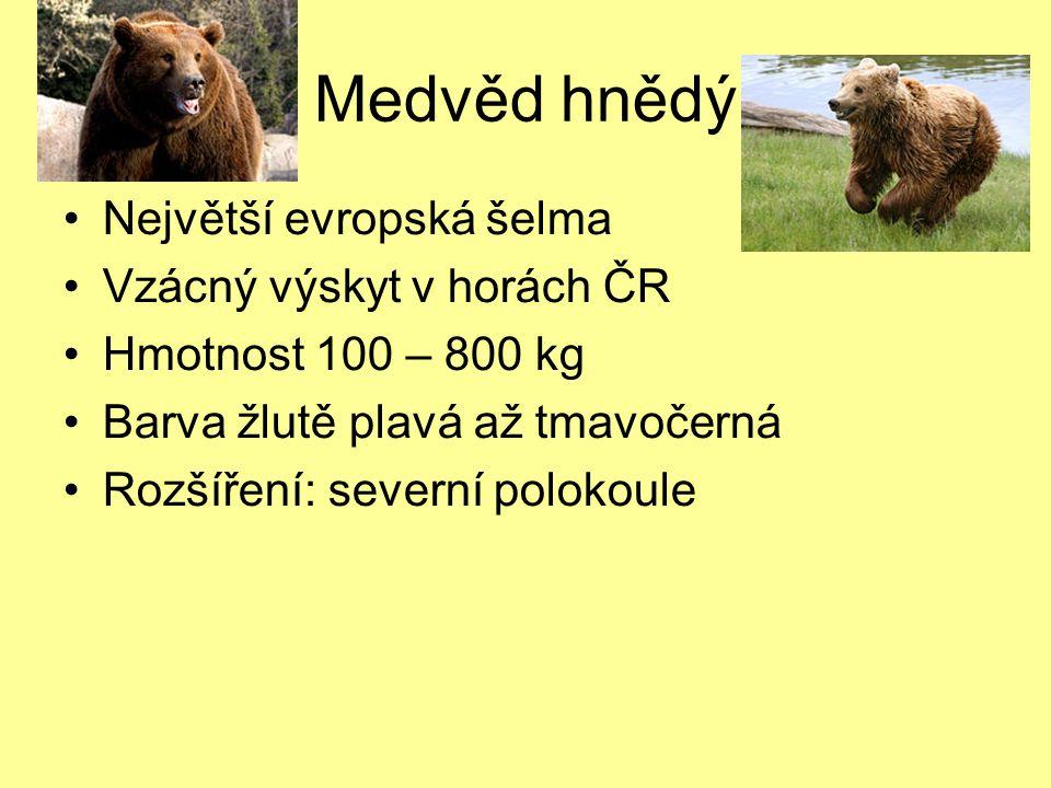 Medvěd hnědý Největší evropská šelma Vzácný výskyt v horách ČR