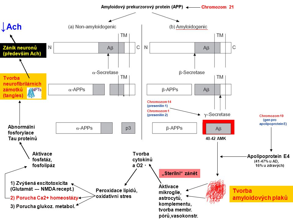 ↓Ach Tvorba amyloidových plaků Zánik neuronů (především Ach)