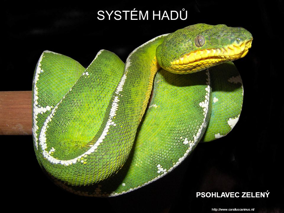 SYSTÉM HADŮ PSOHLAVEC ZELENÝ http://www.coralluscaninus.nl/