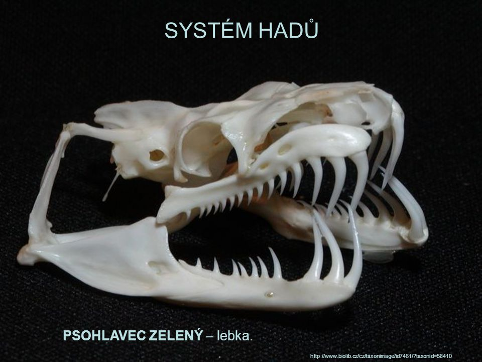 SYSTÉM HADŮ PSOHLAVEC ZELENÝ – lebka.