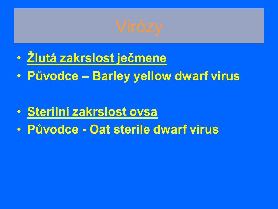 Virózy Žlutá zakrslost ječmene Původce – Barley yellow dwarf virus