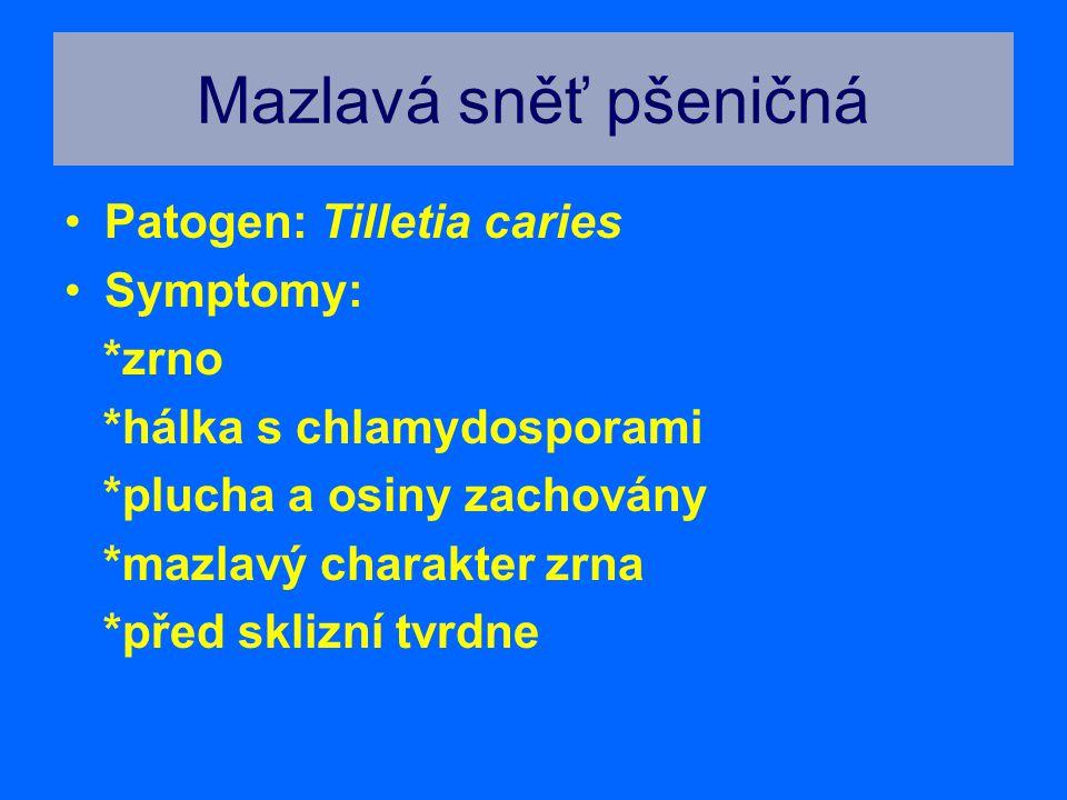 Mazlavá sněť pšeničná Patogen: Tilletia caries Symptomy: *zrno