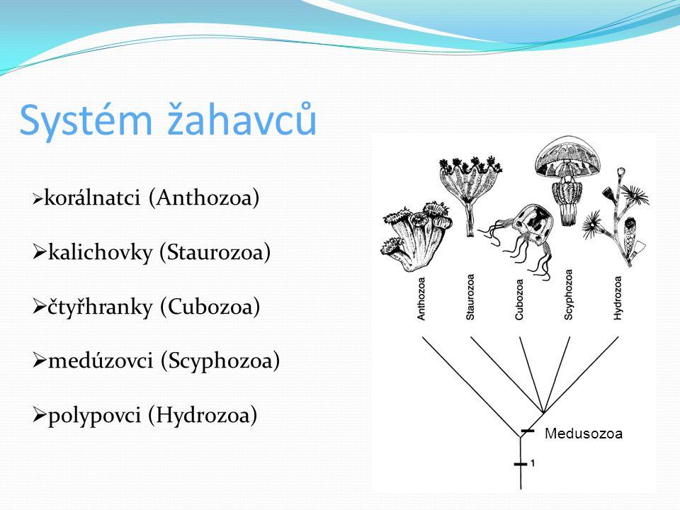 Systém žahavců kalichovky (Staurozoa) čtyřhranky (Cubozoa)