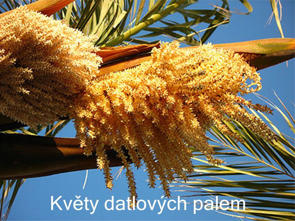 Květy datlových palem