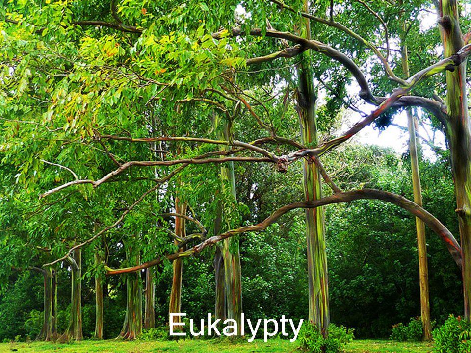 Eukalypty