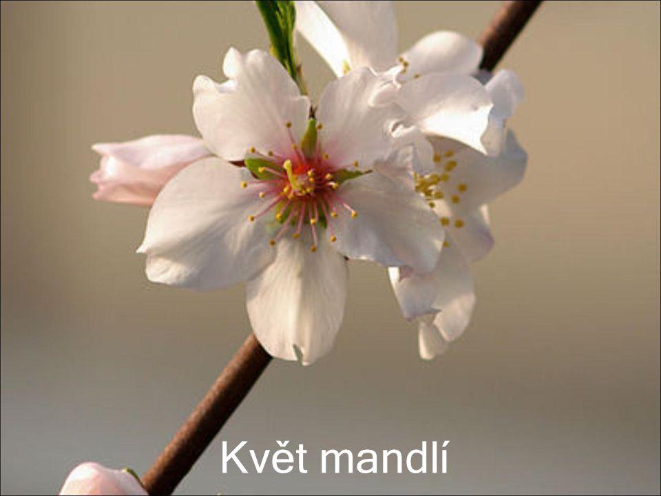 Květ mandlí