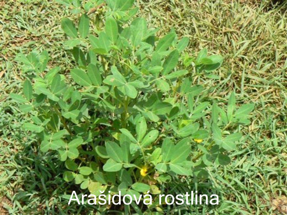 Arašidová rostlina