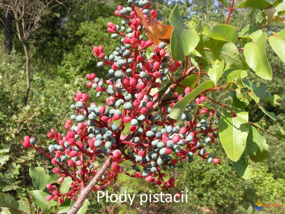 Plody pistacií