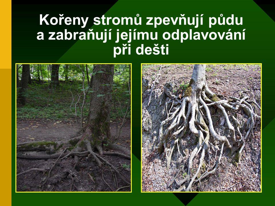 Kořeny stromů zpevňují půdu a zabraňují jejímu odplavování při dešti