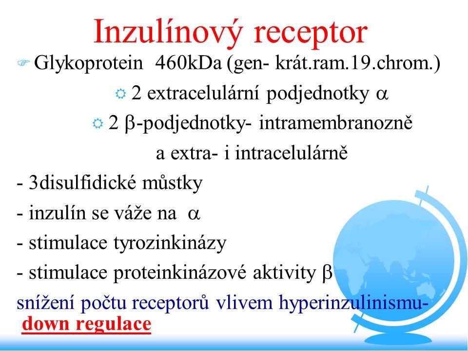 Inzulínový receptor Glykoprotein 460kDa (gen- krát.ram.19.chrom.)