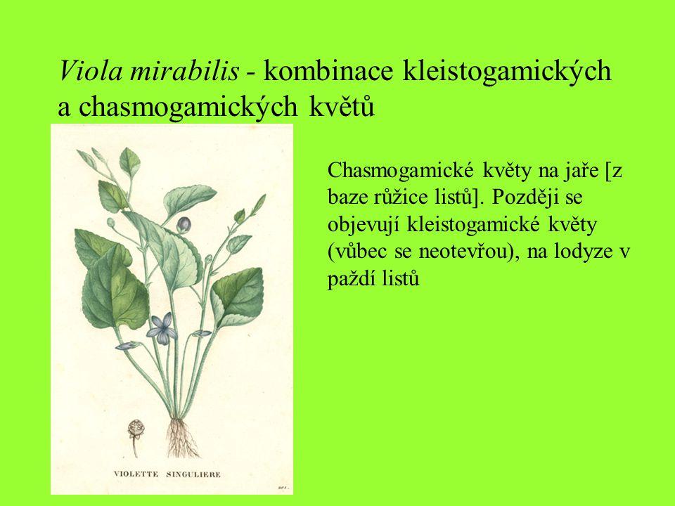 Viola mirabilis - kombinace kleistogamických a chasmogamických květů