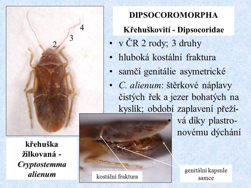 Křehuškovití - Dipsocoridae křehuška žilkovaná - Cryptostemma alienum