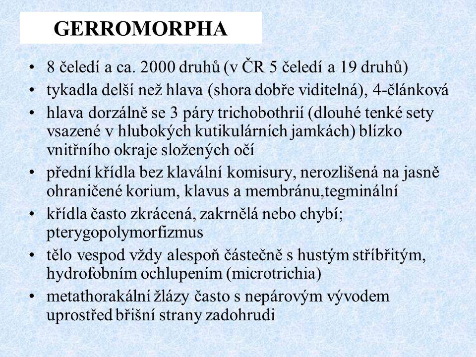 GERROMORPHA 8 čeledí a ca. 2000 druhů (v ČR 5 čeledí a 19 druhů)