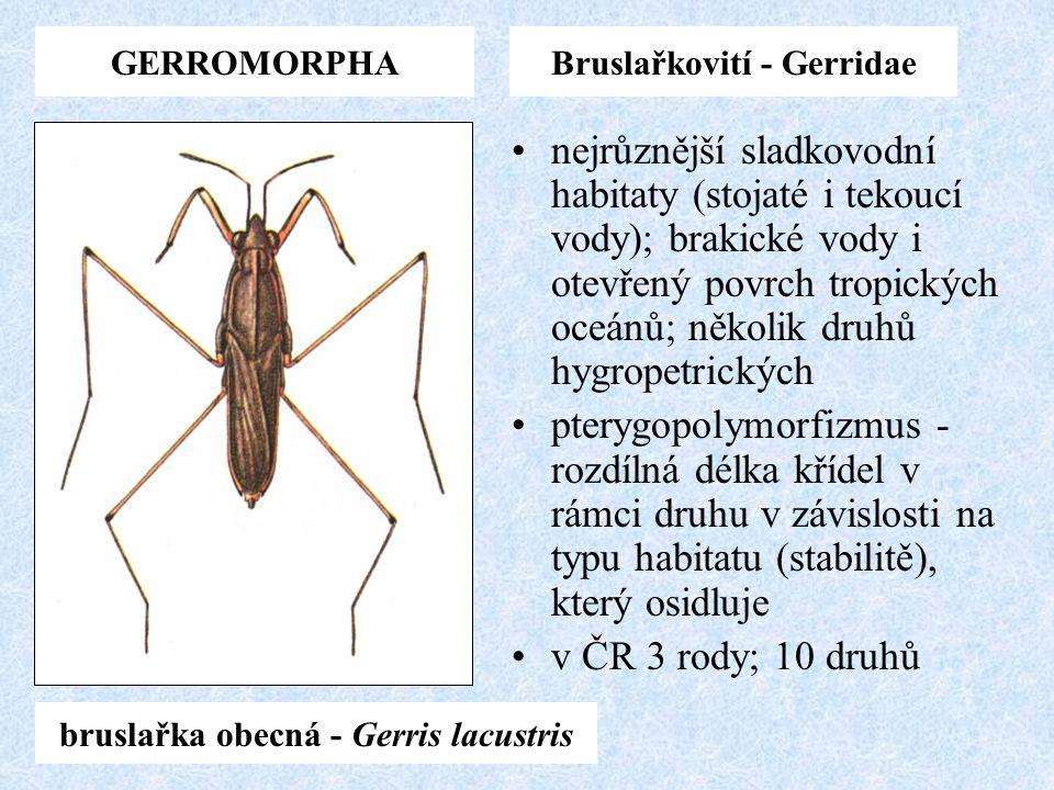 Bruslařkovití - Gerridae bruslařka obecná - Gerris lacustris