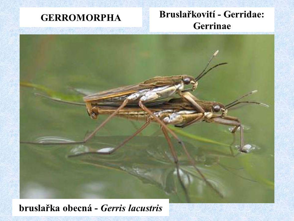 Bruslařkovití - Gerridae: Gerrinae bruslařka obecná - Gerris lacustris