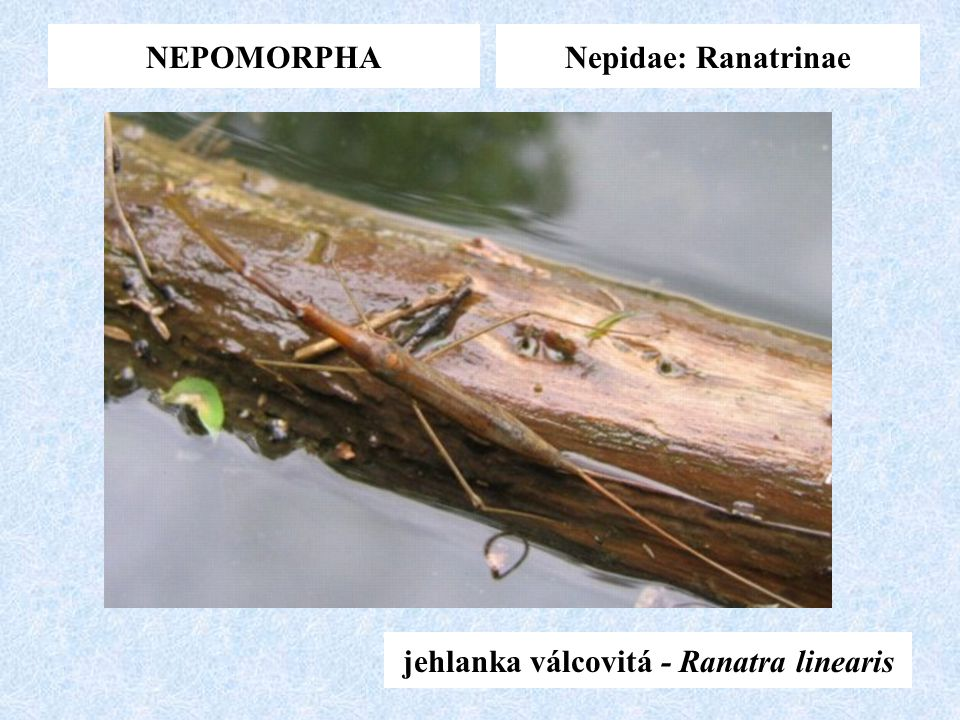 jehlanka válcovitá - Ranatra linearis