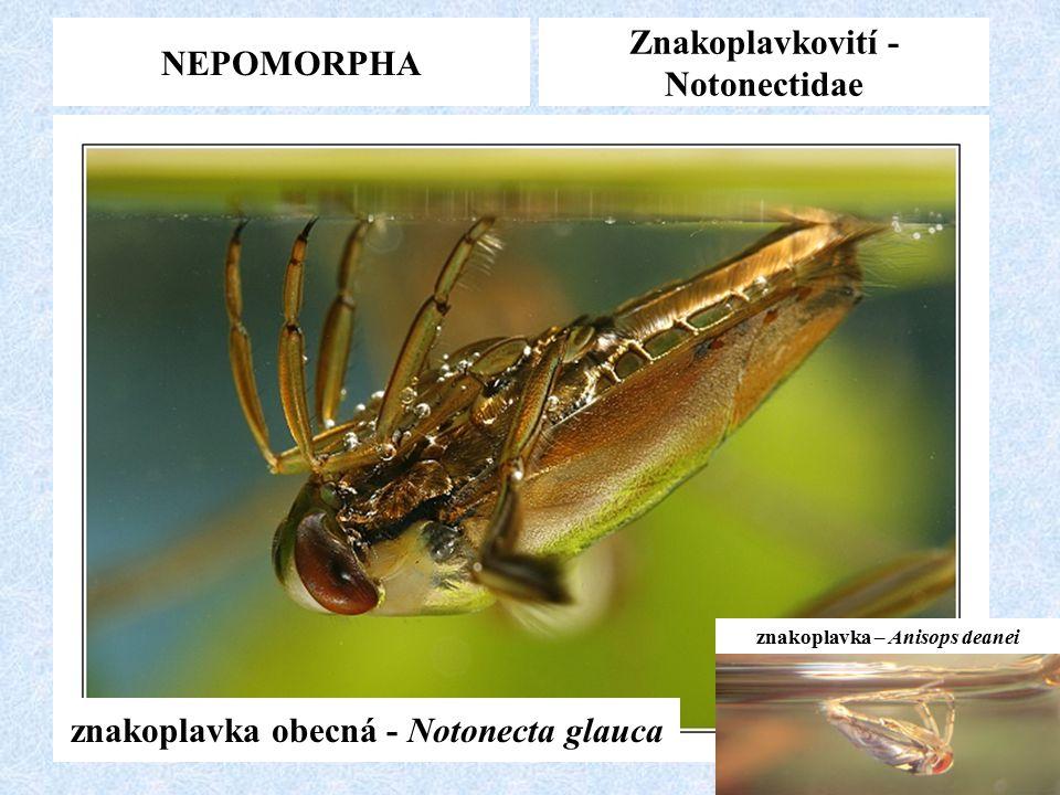 Znakoplavkovití -Notonectidae