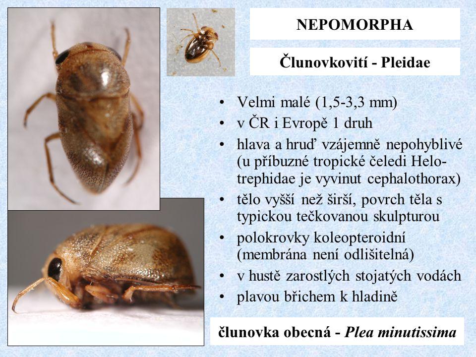 Člunovkovití - Pleidae člunovka obecná - Plea minutissima