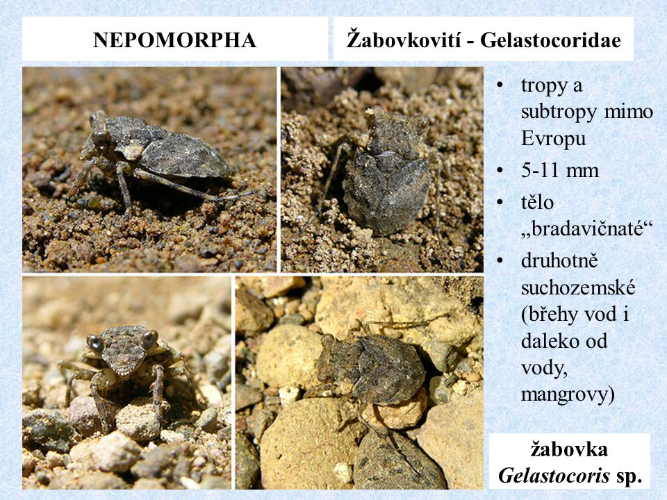 Žabovkovití - Gelastocoridae žabovka Gelastocoris sp.