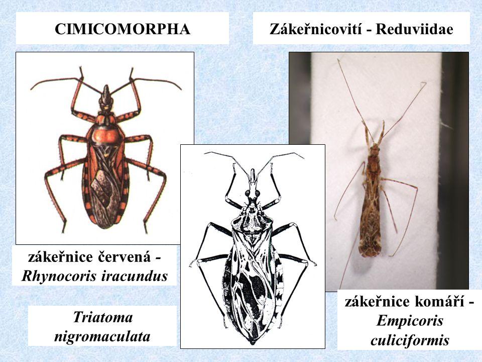 Zákeřnicovití - Reduviidae
