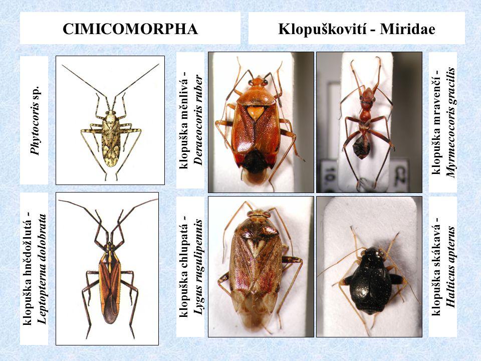 CIMICOMORPHA Klopuškovití - Miridae