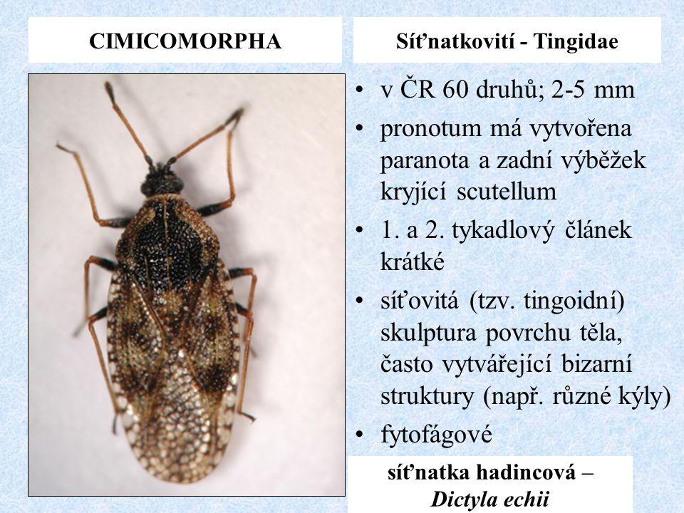 Síťnatkovití - Tingidae síťnatka hadincová – Dictyla echii