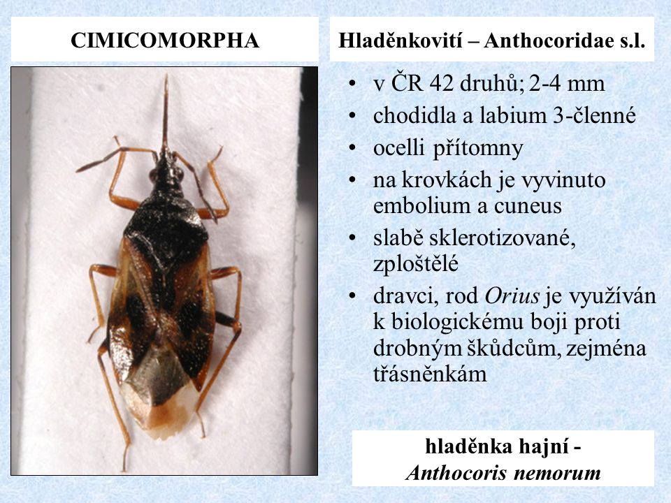 Hladěnkovití – Anthocoridae s.l. hladěnka hajní - Anthocoris nemorum