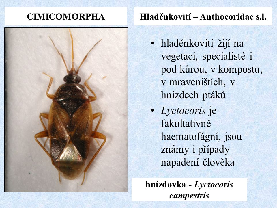 Hladěnkovití – Anthocoridae s.l. hnízdovka - Lyctocoris campestris