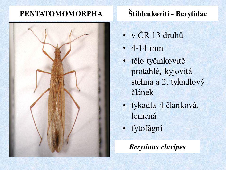 Štíhlenkovití - Berytidae