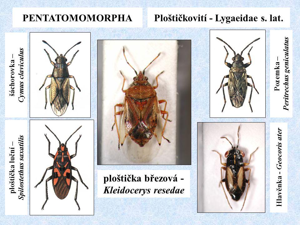Ploštičkovití - Lygaeidae s. lat.