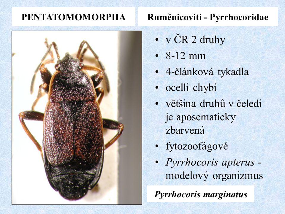 Ruměnicovití - Pyrrhocoridae Pyrrhocoris marginatus