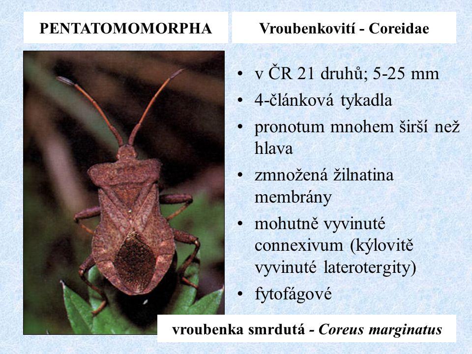 Vroubenkovití - Coreidae vroubenka smrdutá - Coreus marginatus