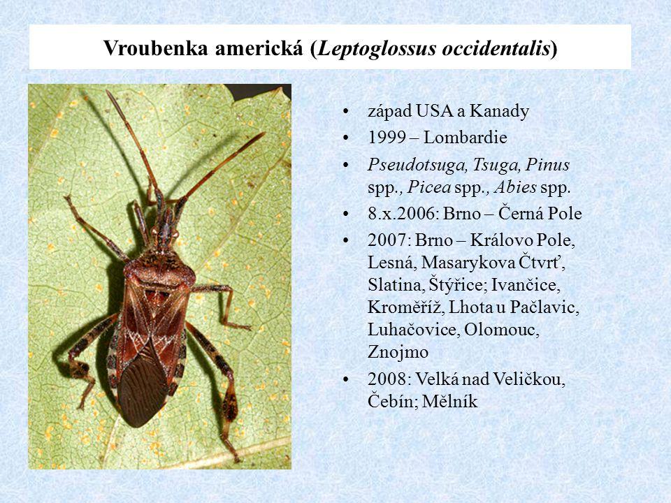 Vroubenka americká (Leptoglossus occidentalis)