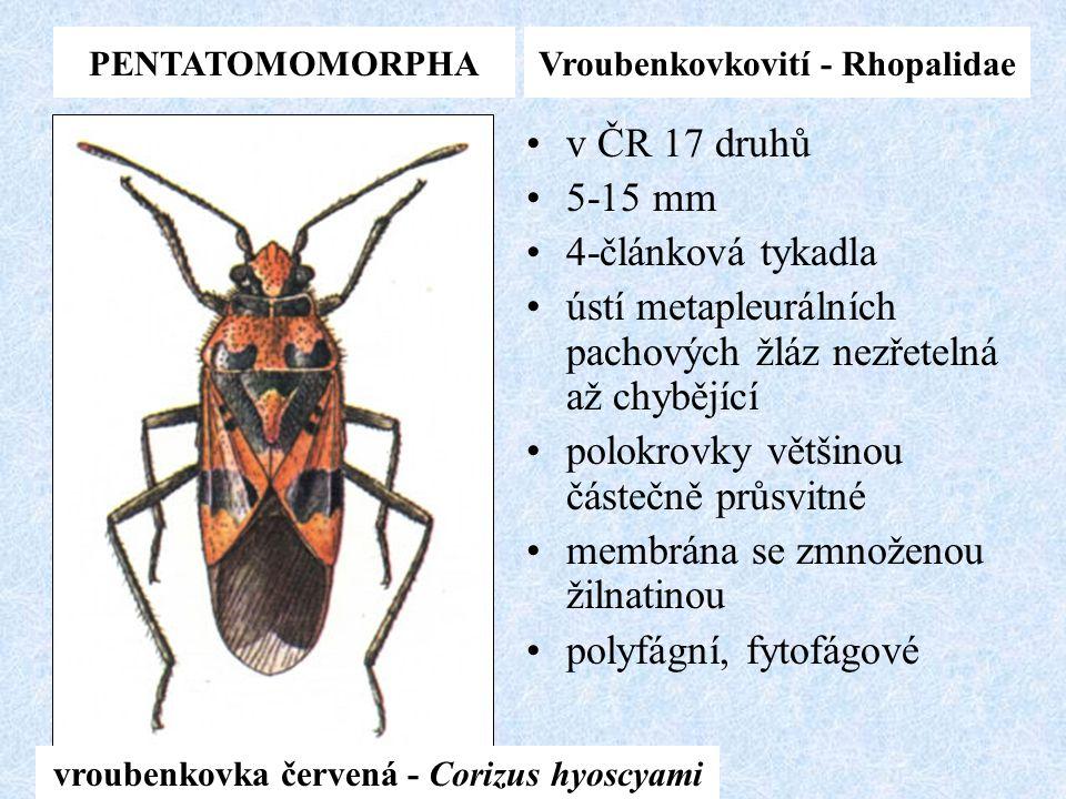 Vroubenkovkovití - Rhopalidae vroubenkovka červená - Corizus hyoscyami