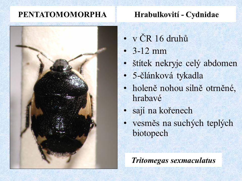 Hrabulkovití - Cydnidae Tritomegas sexmaculatus