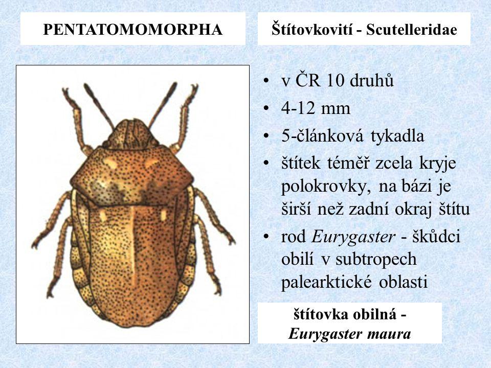 Štítovkovití - Scutelleridae štítovka obilná -Eurygaster maura