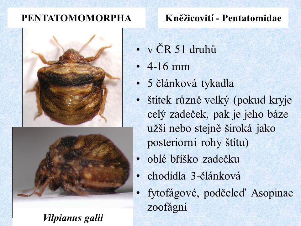 Kněžicovití - Pentatomidae