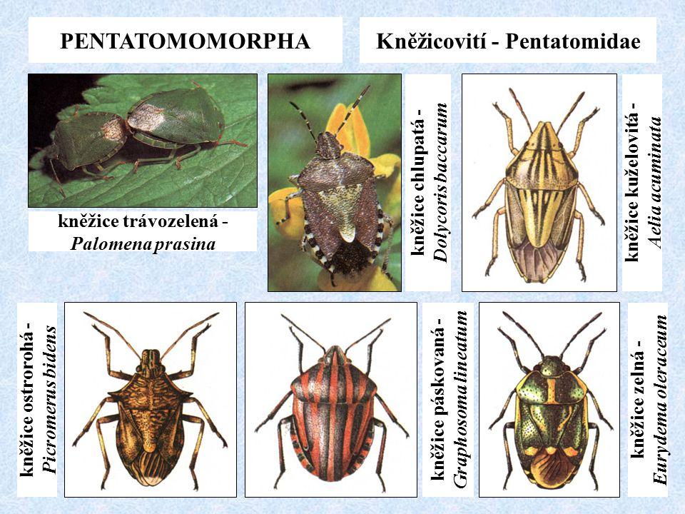 PENTATOMOMORPHA Kněžicovití - Pentatomidae