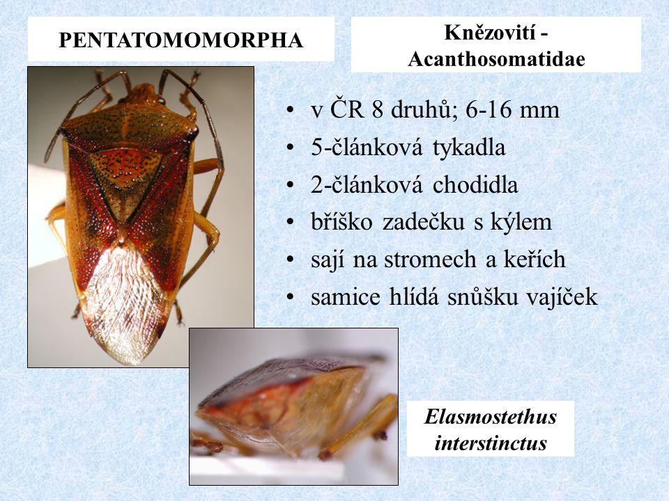 Knězovití - Acanthosomatidae Elasmostethus interstinctus