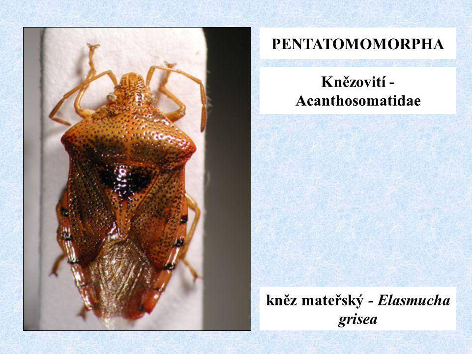 Knězovití - Acanthosomatidae kněz mateřský - Elasmucha grisea