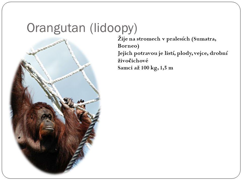 Orangutan (lidoopy) Žije na stromech v pralesích (Sumatra, Borneo)