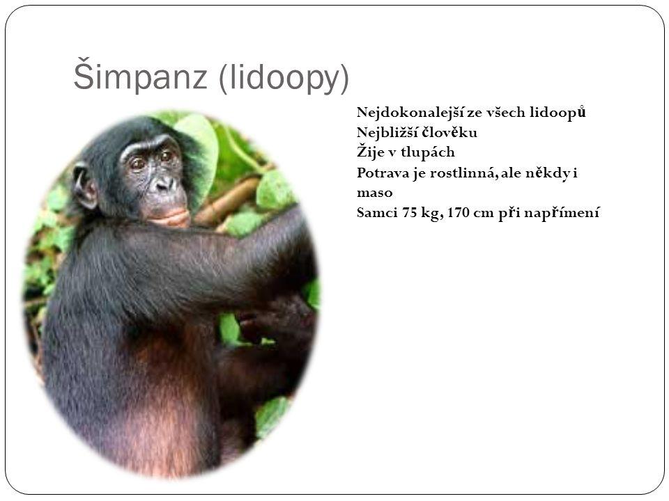 Šimpanz (lidoopy) Nejdokonalejší ze všech lidoopů Nejbližší člověku