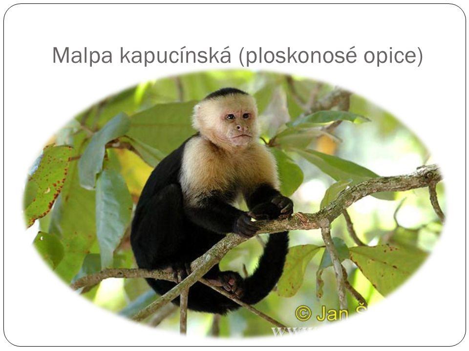 Malpa kapucínská (ploskonosé opice)