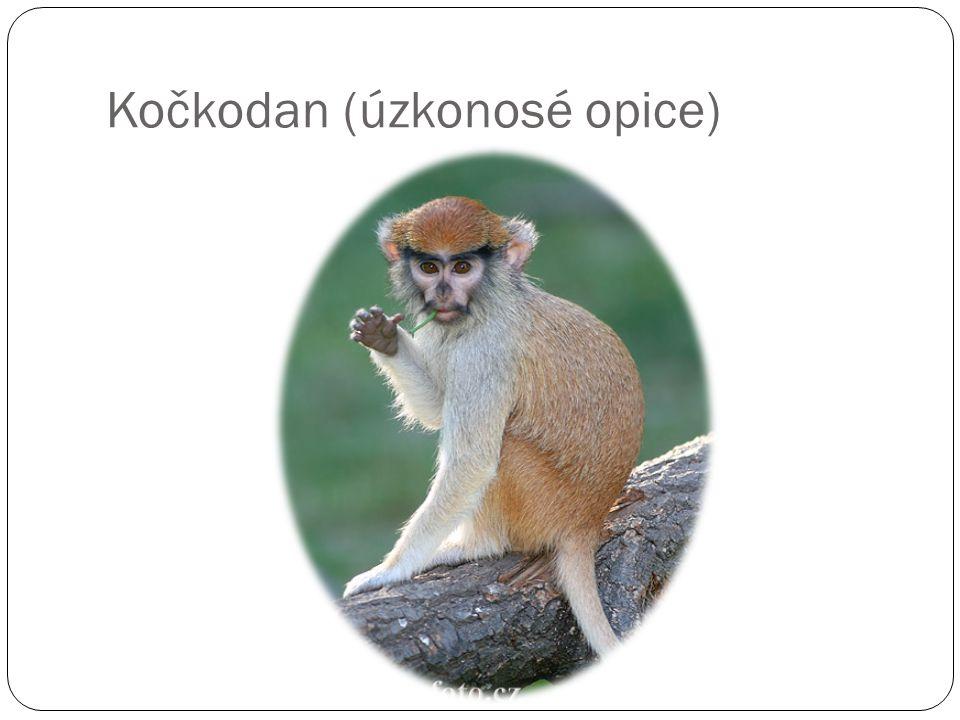 Kočkodan (úzkonosé opice)