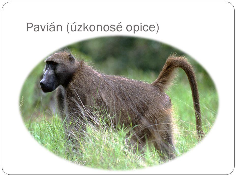 Pavián (úzkonosé opice)