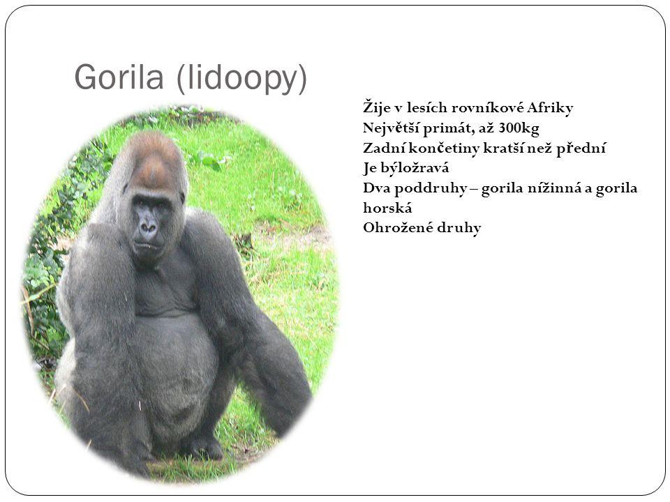 Gorila (lidoopy) Žije v lesích rovníkové Afriky