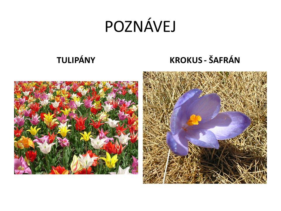 POZNÁVEJ TULIPÁNY KROKUS - ŠAFRÁN