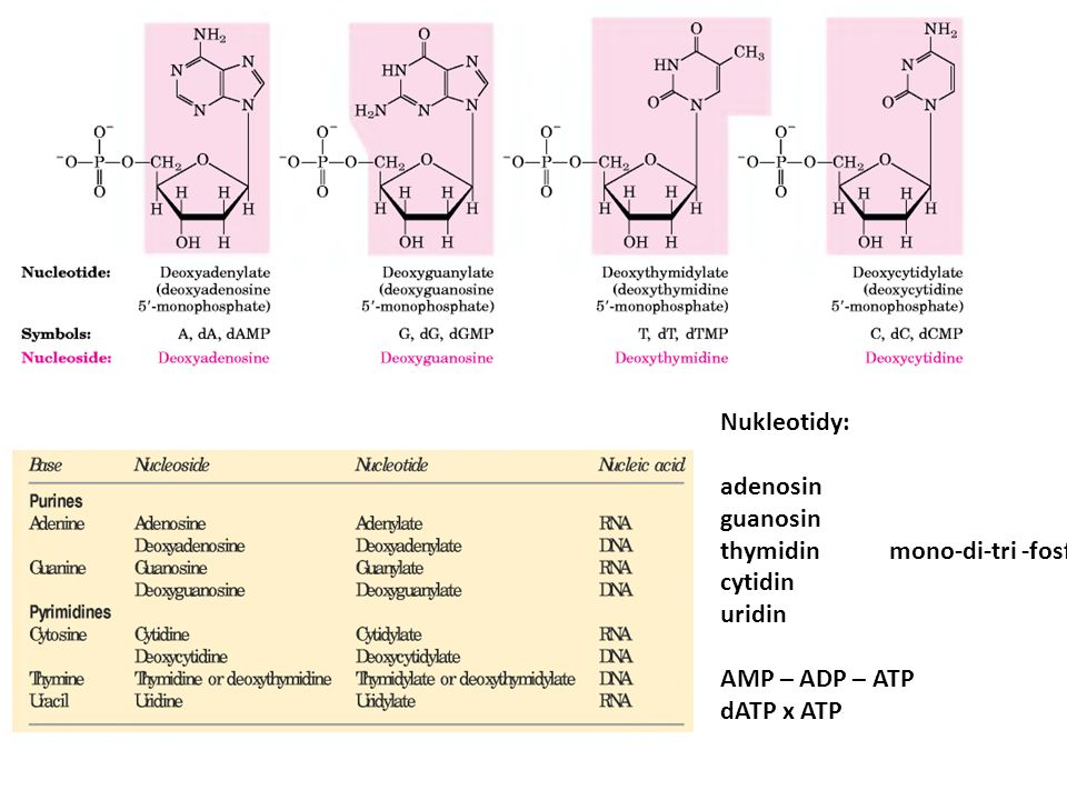 Struktura NK Nukleotidy: adenosin guanosin